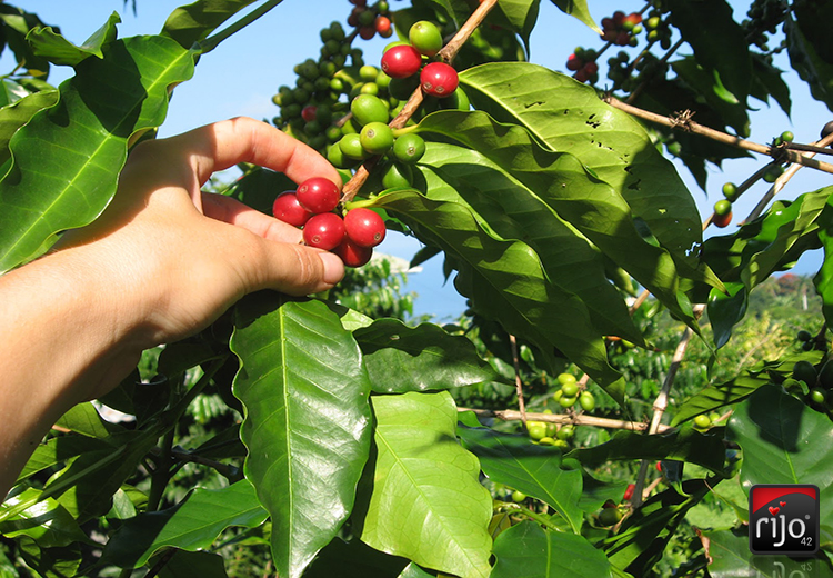 Coffee Cherry Selective Picking