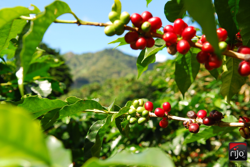 Rijo42 Coffee Beans From Picking To Your Cup Rijo42